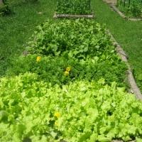dogwoodfarm_2010_lettucebeds