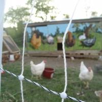 Kayam Farm Chickens