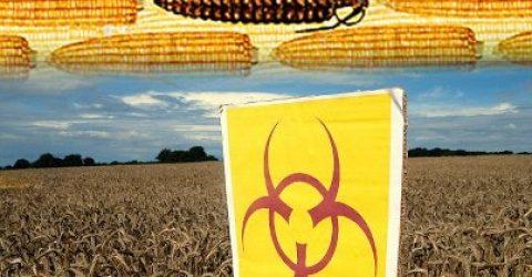 GMO-Corn-banned-by-Russia