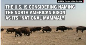 Bison closer to 'national mammal' status after House vote