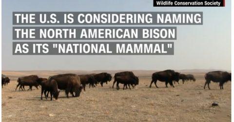 Bison CNN