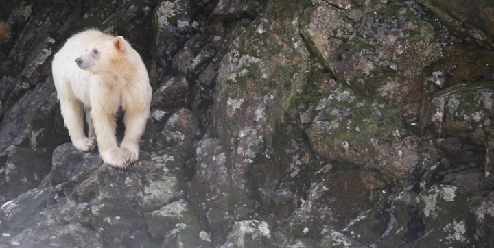 A white-furred Spirit bear in territory of the Kitasoo/Xai'xais First Nation. Video by Philip Charles.