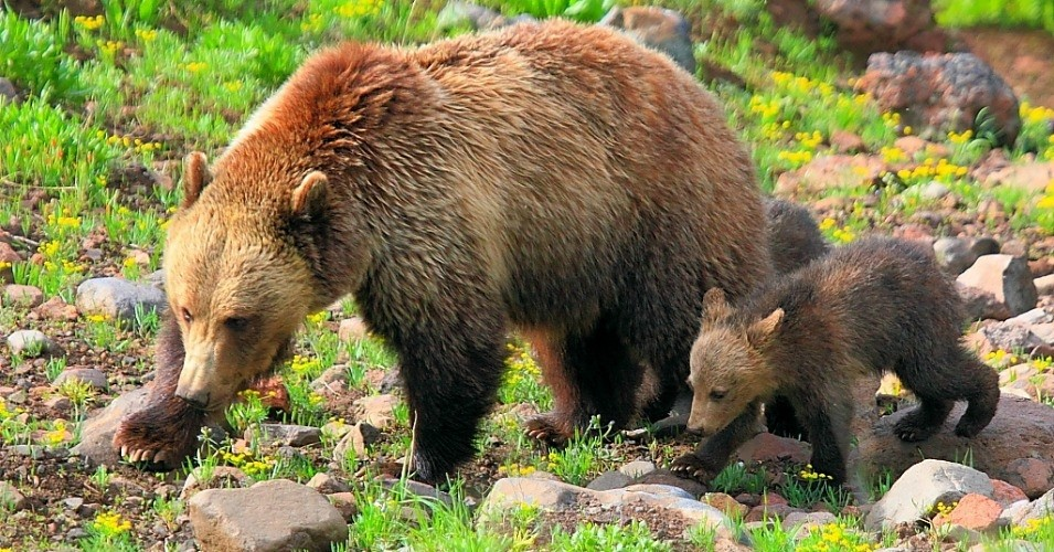 A mother and baby grizzly bear spotted in Yellowstone National Park. (Photo: I-Ting Chiang/CC BY-NC 2.0)