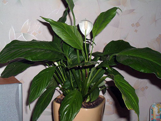 Best air filtering houseplants according to nasa zohara for Nasa indoor plant list