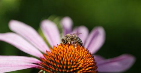 5.2-Bee-Purple-flower - http://www.sxc.hu/