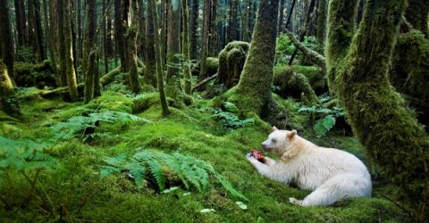 WhiteBearPacificRainForest